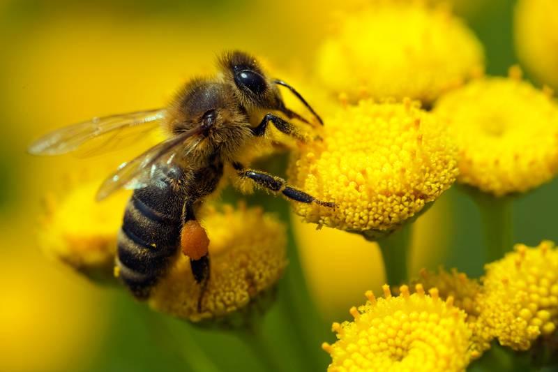 Pčele lakše pronalaze hranu ako je zrak manje onečišćen