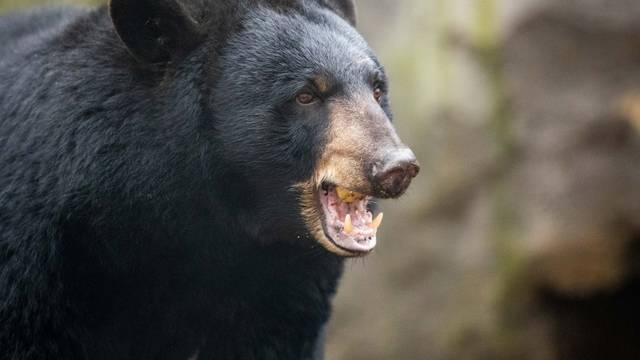 "Black bear ""Honey"" from Malta in Osnabrück Zoo"