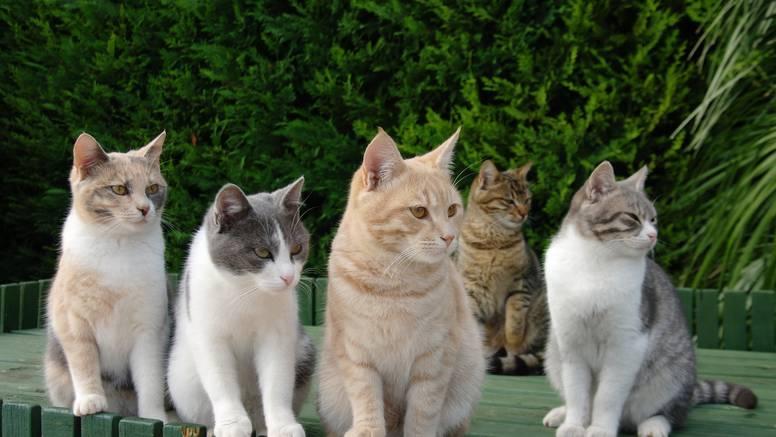 Japanski ljubitelji mačaka su prikupili čak 2 milijuna dolara za medicinska istraživanja