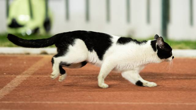 Split: Znatiželjna mačka na utakmici Hajduka i Lokomotive