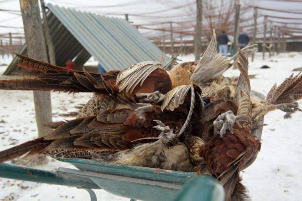 Pokolj platila glavom: Lisica je redom ubijala sve fazane...