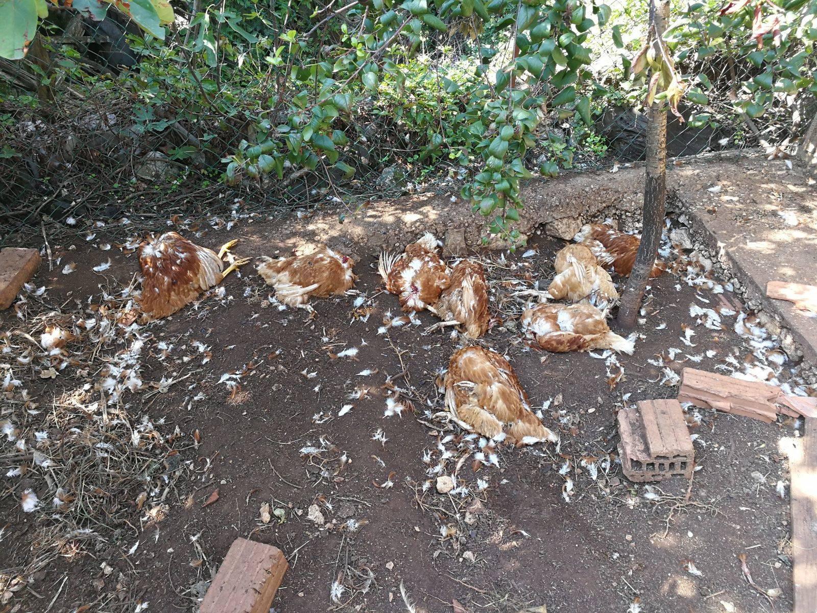 Mrtve kokoši