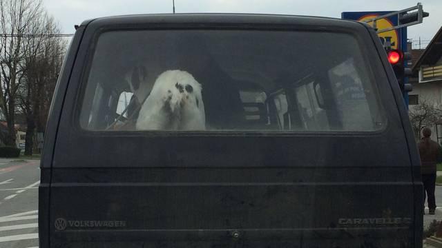 Tele u kombiju: MUUUUU, pustite me van iz prtljažnika!
