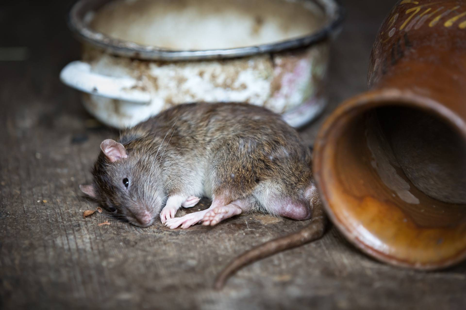 Punjeni  - štakori! U glodavcima krijumčarili drogu, cigarete...