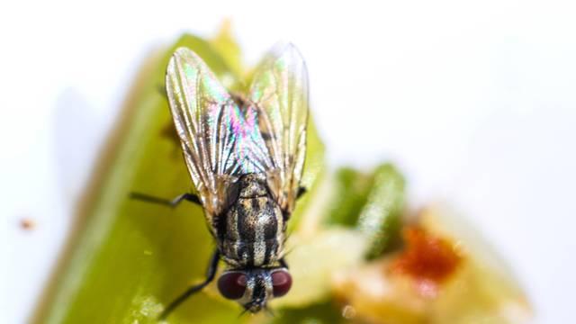Jesu li i vaš dom napale muhe? Ovako ih možete lako otjerati