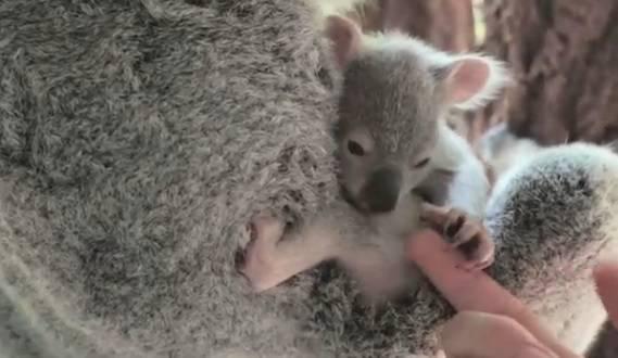 'Mama, ne puštaj me': Objavili dirljiv video mladunčeta  koale