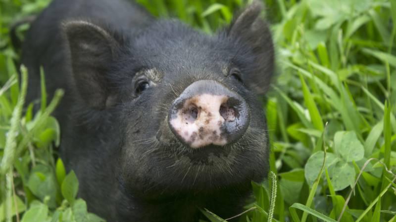 Za po doma: Patuljaste svinje neovisniji su ljubimci od pasa