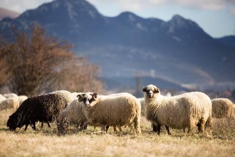 Ovce na ispaši na Grobničkom polju