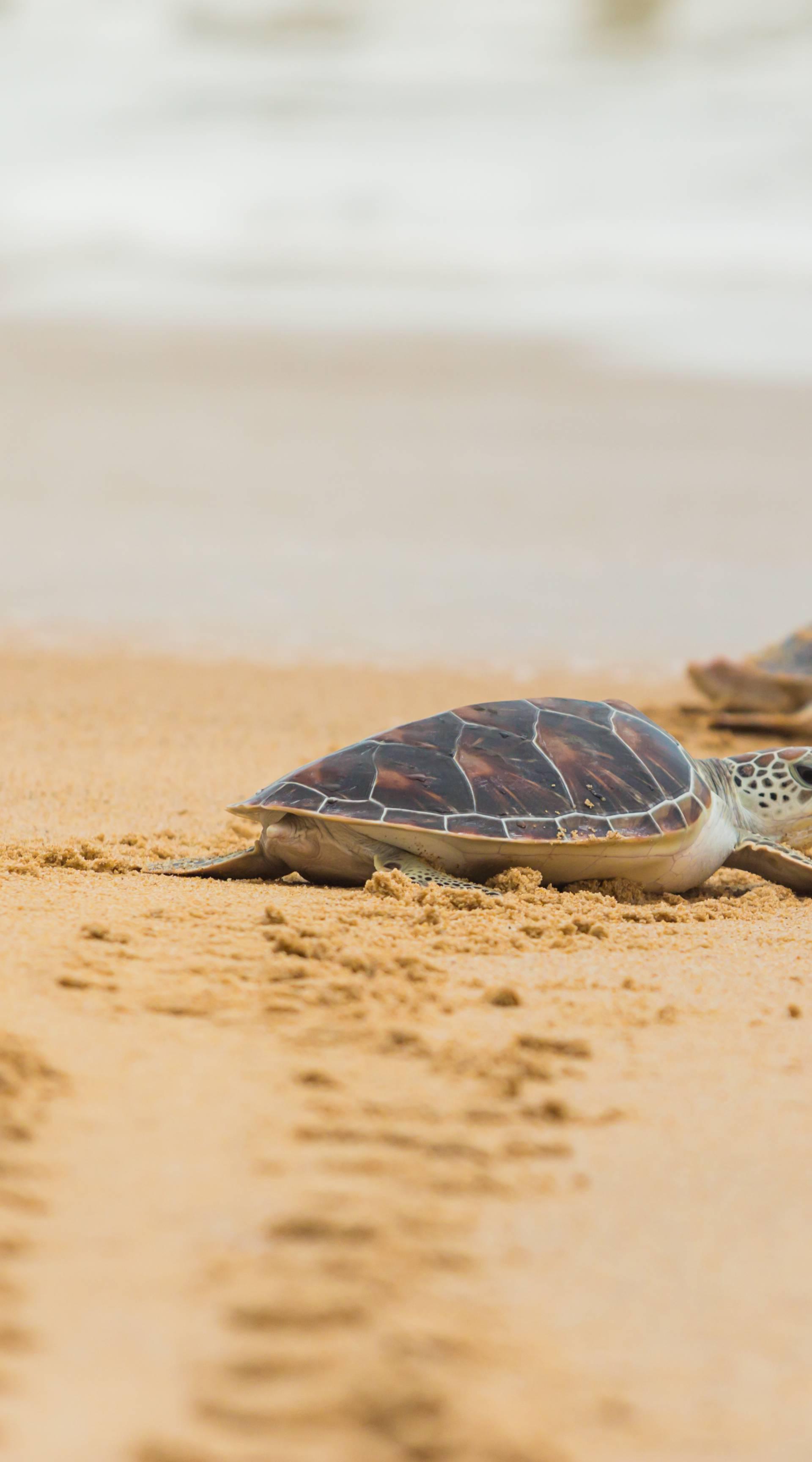 Karetne želve izlegle su se na pustim brazilskim plažama