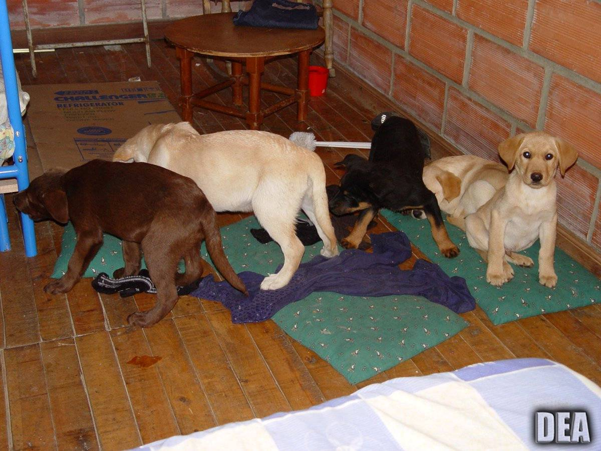 DEA photo of puppies which Andres Lopez Elorez is accused of surgically implanted these puppies with liquid heroin 12 years ago