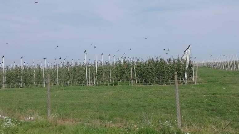 Stoje svaka na svom stupu voćnjaka: 'Vrane su izgledale kao ptičja vojska od terakote'