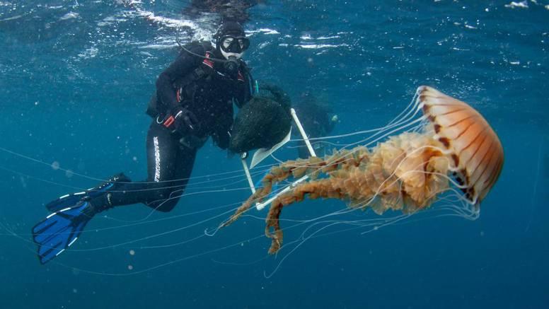 Čudovište kod Trogira šokiralo ronioce: 'Ovako veliku meduzu nismo vidjeli, ne idite joj blizu'