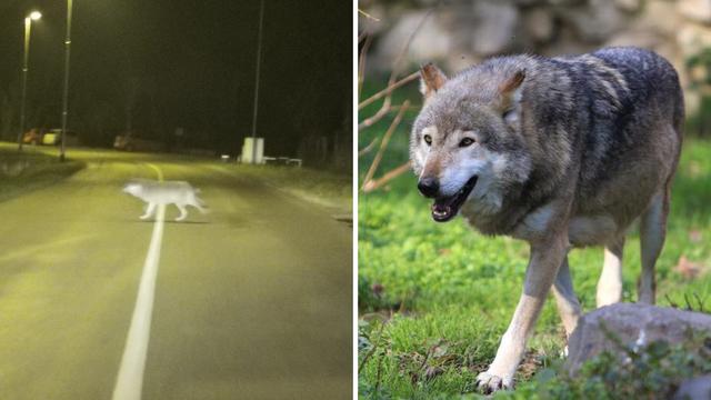 Švedski vuk ne gubi vrijeme: Osječki ZOO dobit će - čopor