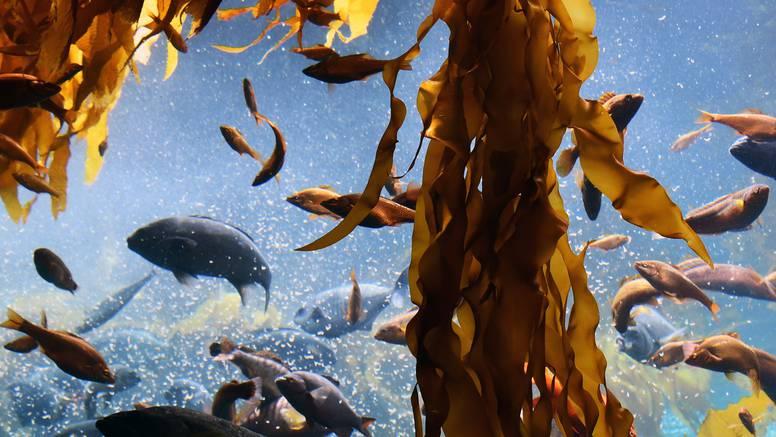 Zbog toplijeg oceana sve brže odumiru šume divovskog kelpa