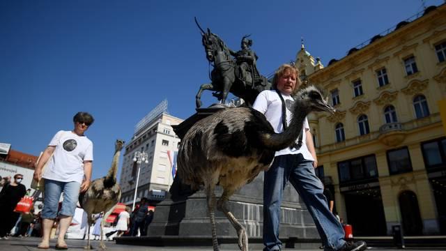 VIDEO Nojevi u Zagrebu slistili lubenicu na Dolcu: 'Neki šeću pse, mi šećemo Nandua i Ninu'
