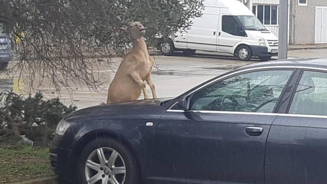 Koza skočila na haubu Audija: 'Stari, koji motor imaš unutra'