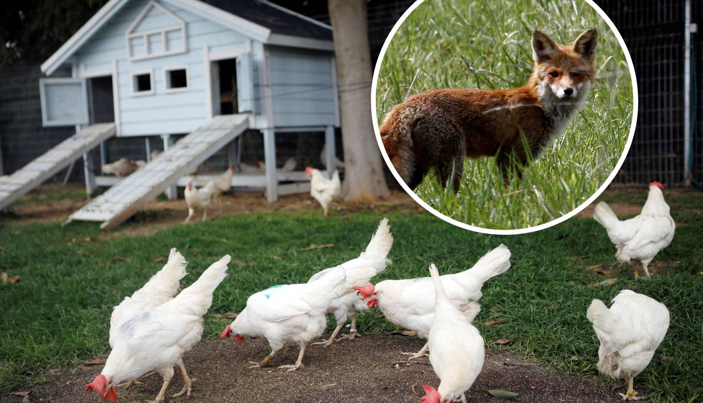 Pobuna u kokošinjcu: Kokoši kljunom iskljucale gladnu lisicu