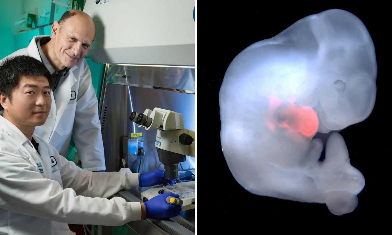 Stvorili čovjeka-svinju: U tom biću uzgajat će ljudske organe