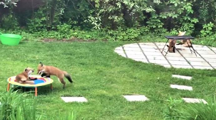 Obitelj od sedam lisica dolazi im u dvorište na trampolin i odmor