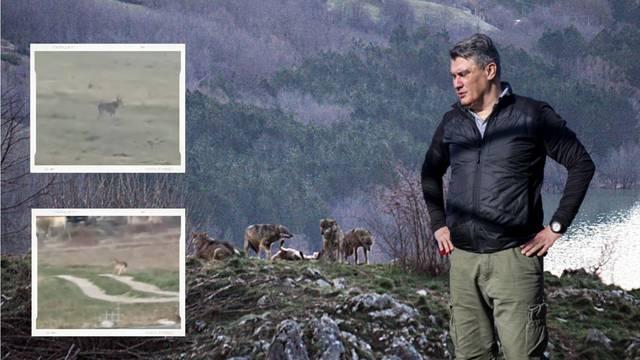 Vukovi opsjeli Milanovićevo selo: 'Ima ih sve više, preskaču ogradu poput Blanke Vlašić'