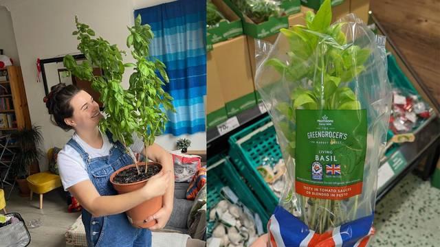 Kupio bosiljak u supermarketu, nakon godinu dana izrastao u nevjerojatno divovsku biljku