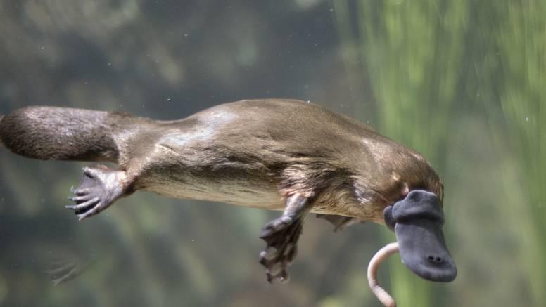 Australski čudnovati kljunaš je zbog ljudi na rubu izumiranja