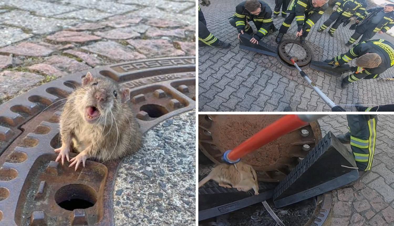 Spašavali debelog štakora koji je zapeo u odvodu kanalizacije