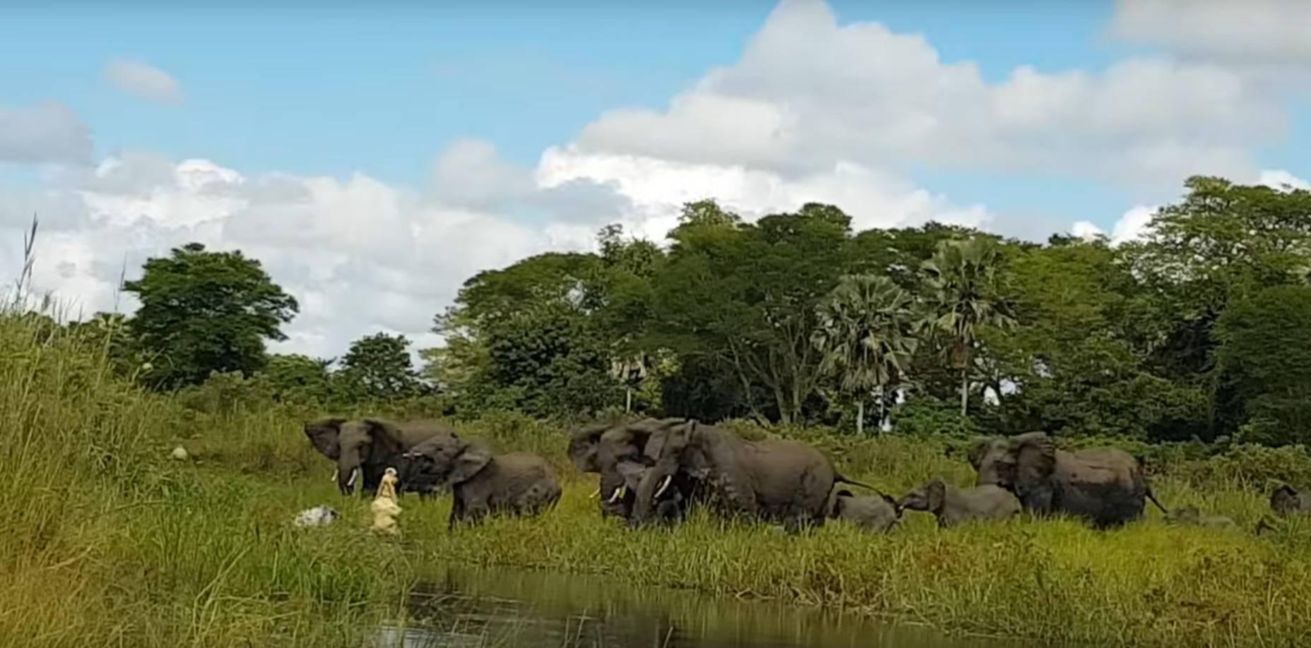 Kakva borba: Slonovi spasili surlu i obranili se od krokodila