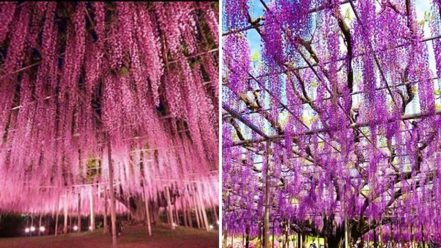 Predivno: 144 godina staro drvo izgleda poput ružičastog oblaka