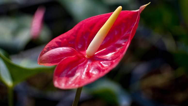 Flamingovci, tropske biljke koje će vam bujati i u dnevnoj sobi