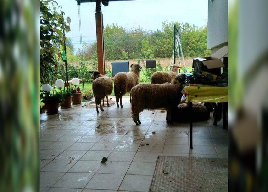 Nisu mu sve na broju: 'Halo, radio, tuđe ovce su na terasi...'