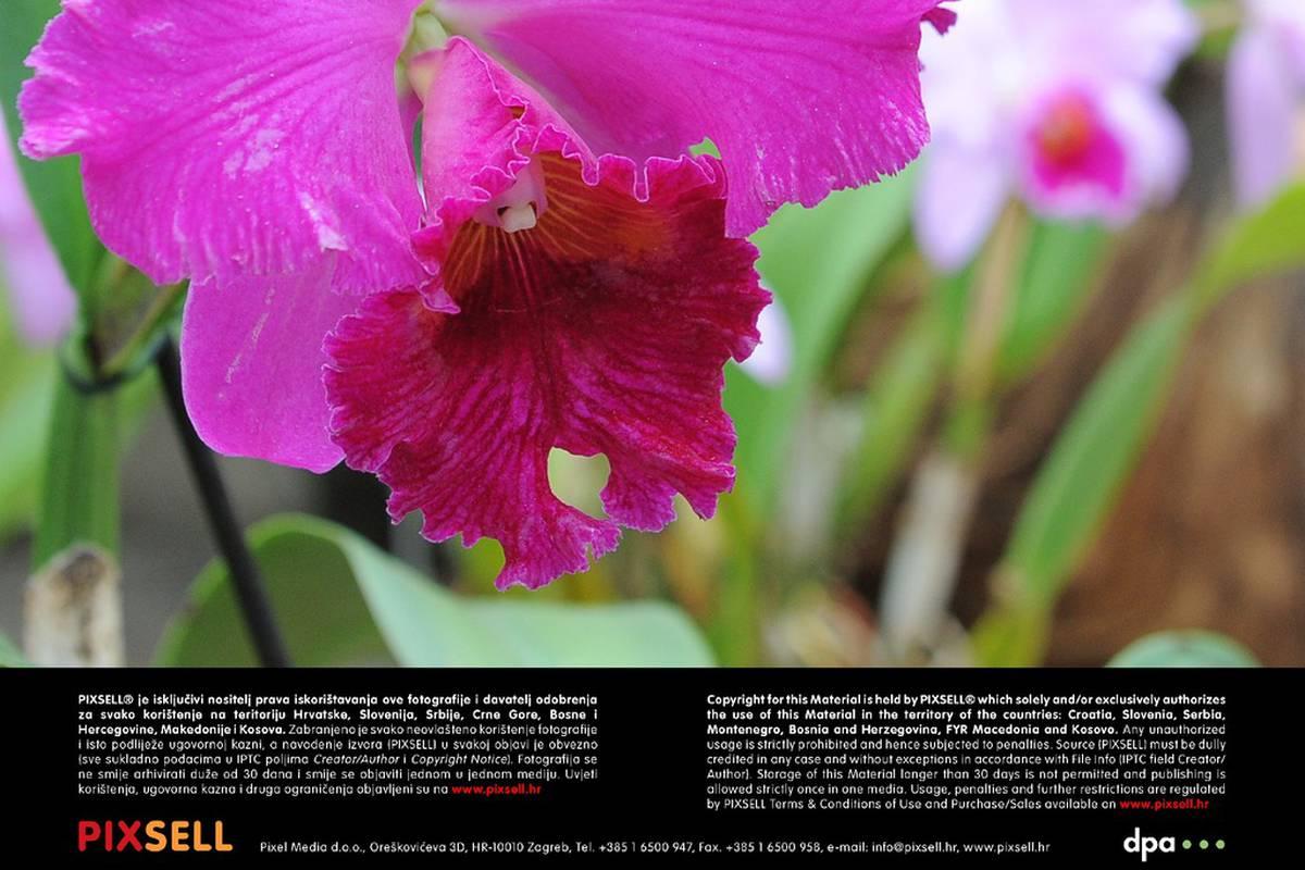 U slika sexu u cvatu orhideja poza Sanjarica