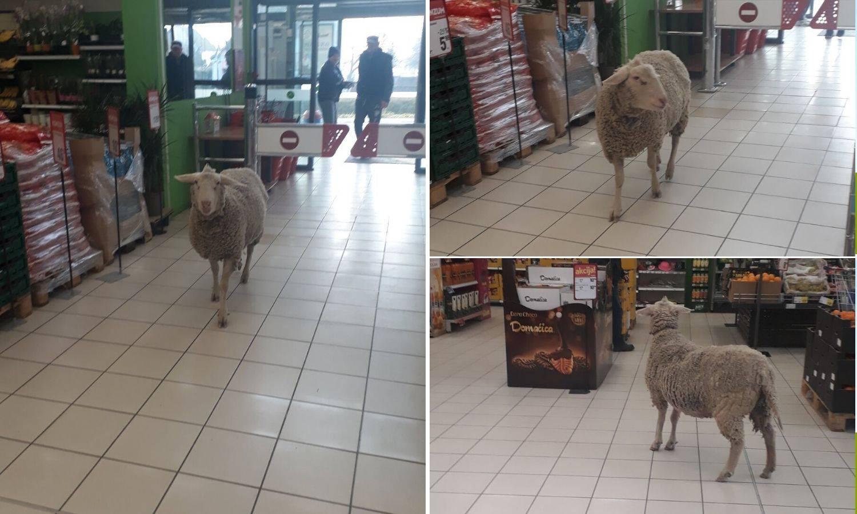 Išla ovca u dućan: Prošetala po trgovini, mesar ju istjerao van