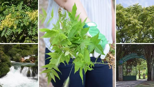Opasni korov se širi Hrvatskom: Sadrži otrov koji uništava druge biljke i može naštetiti ljudima