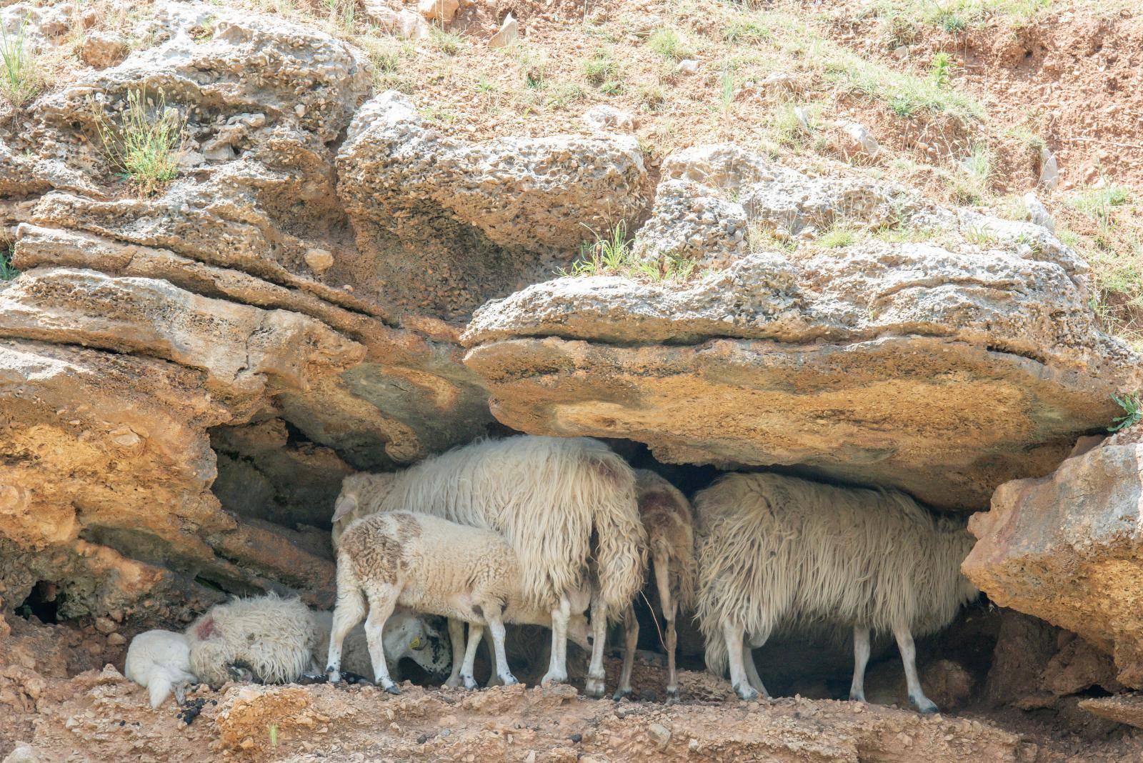 Pasje vrućine? Na Pagu vladaju ovčje: Traže hlad u stijenama