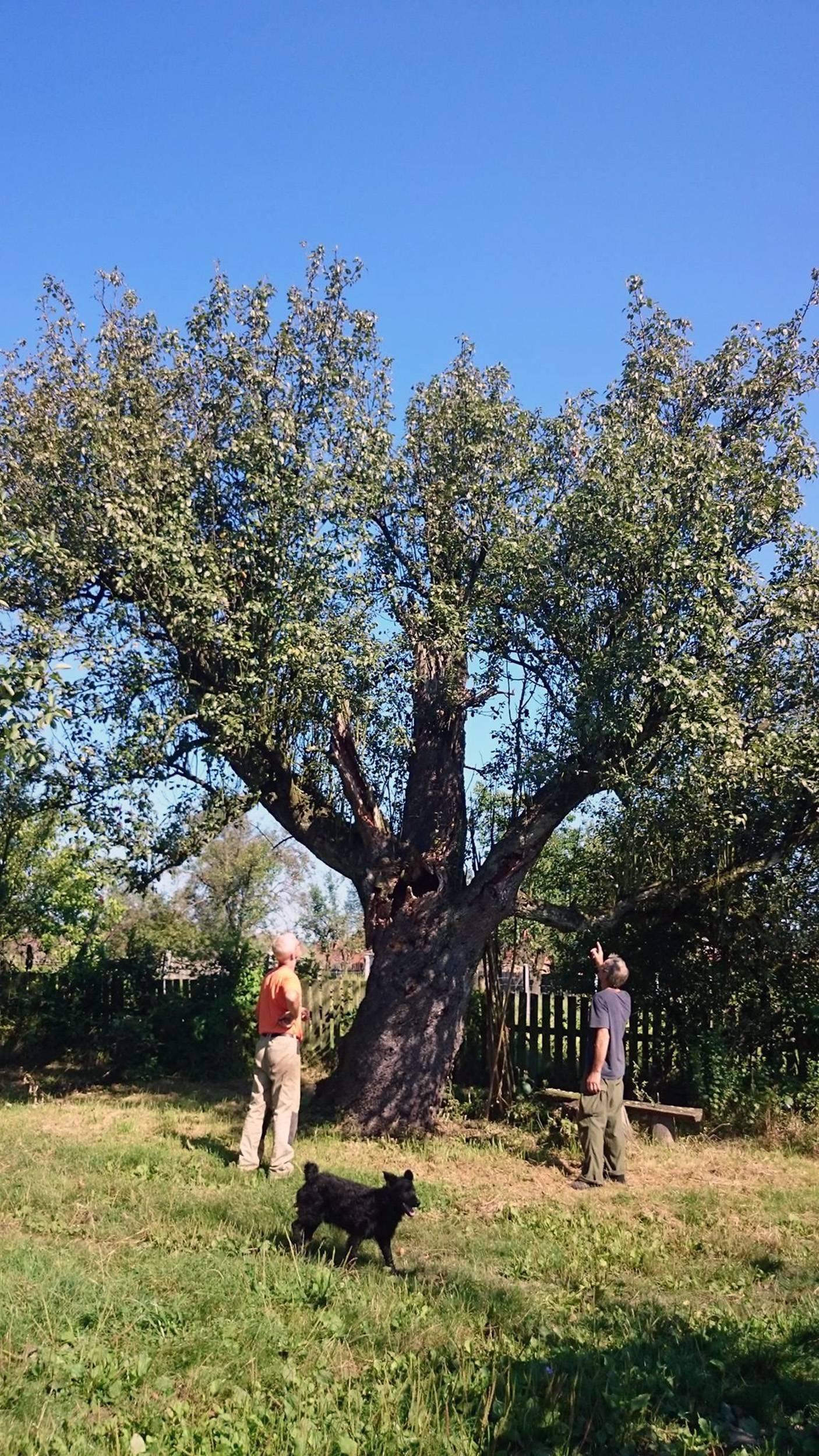 Rekorderka: 'Imamo stablo kruške starije od 400 godina'