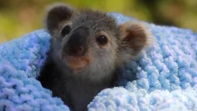 Riješen misterij: Znanstvenici otkrili kako to koale piju vodu