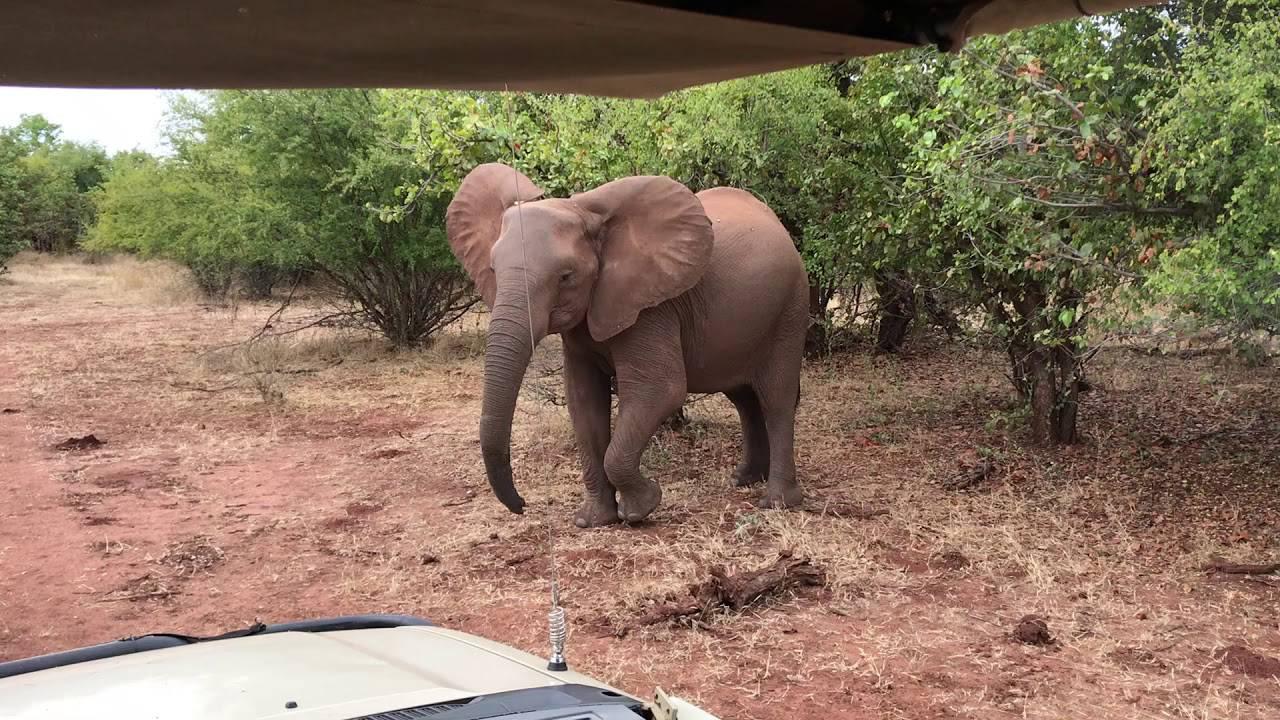 Slonovi u Zimbabveu umiru od suše i gladi: 'Situacija je teška'