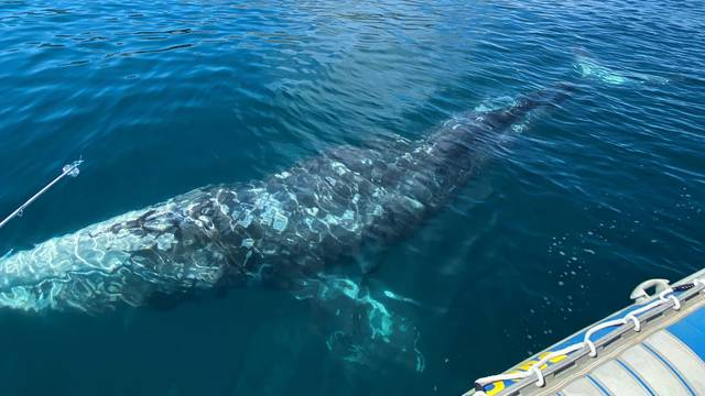 Wally, the lost gray whale calf in the Mediterranean Sea, has little chance of returning to his native North Pacific