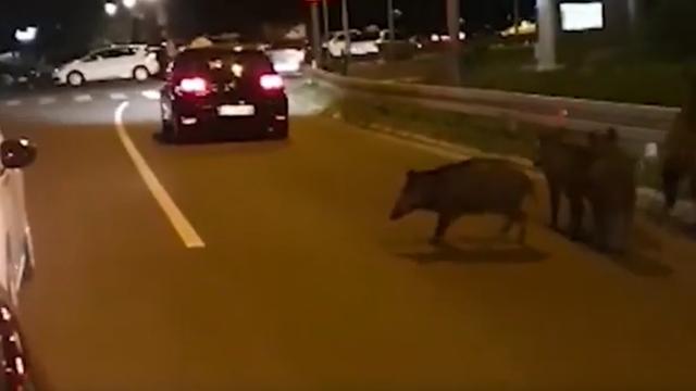 Divlje svinje okupirale Beograd, jedna u panici pala s petog kata