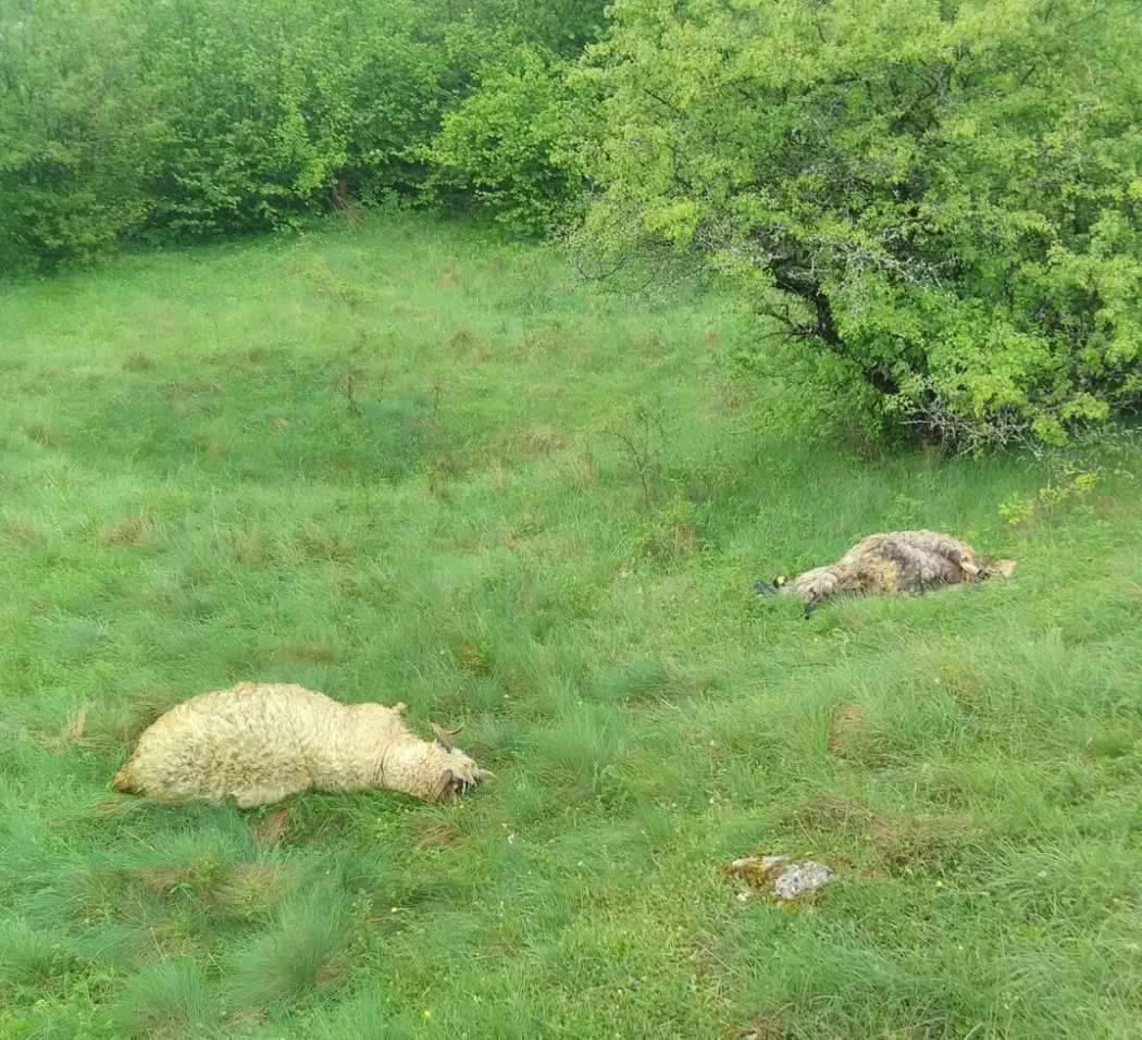 Tomislavgrad: Grom je ubio ovce, pastir je lakše ozlijeđen