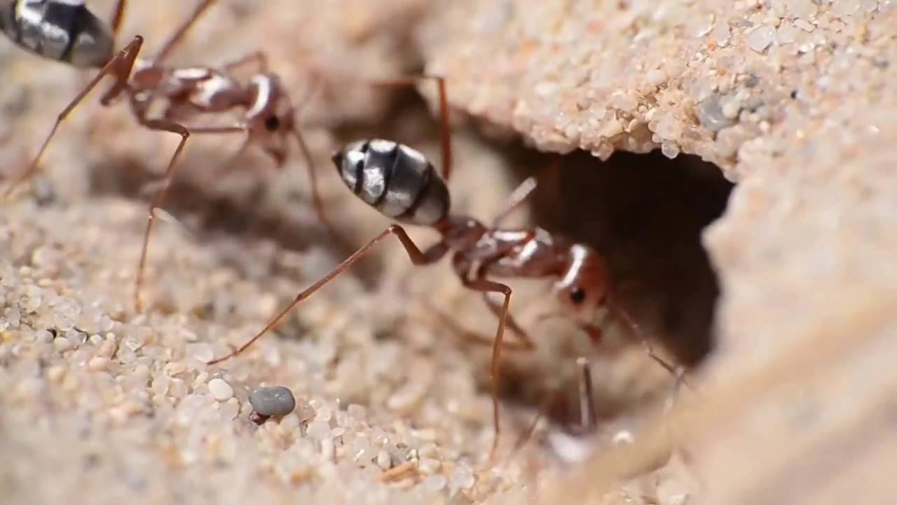 Kad bi najbrži čovjek bio kao ovaj mrav, jurio bi 600 km/h
