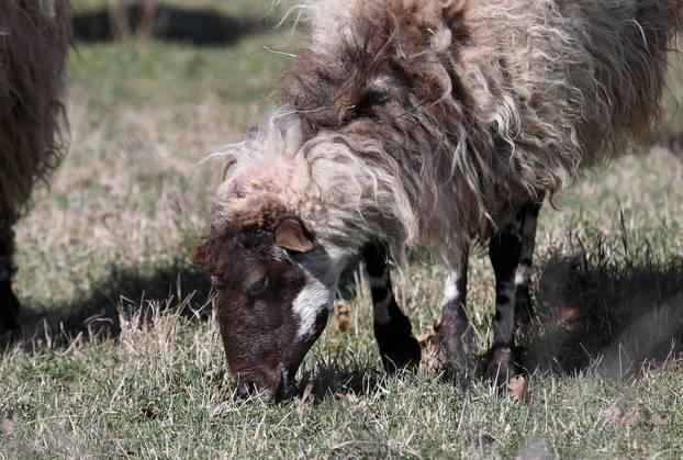 Šibenik: Stado ovaca na ispaši