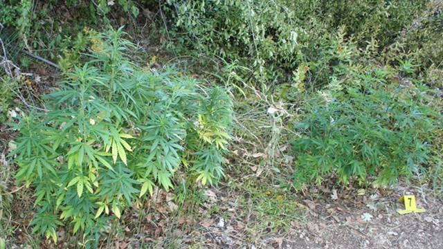 U Trilju kod dvojice muškaraca pronašli 21 kilogram marihuane