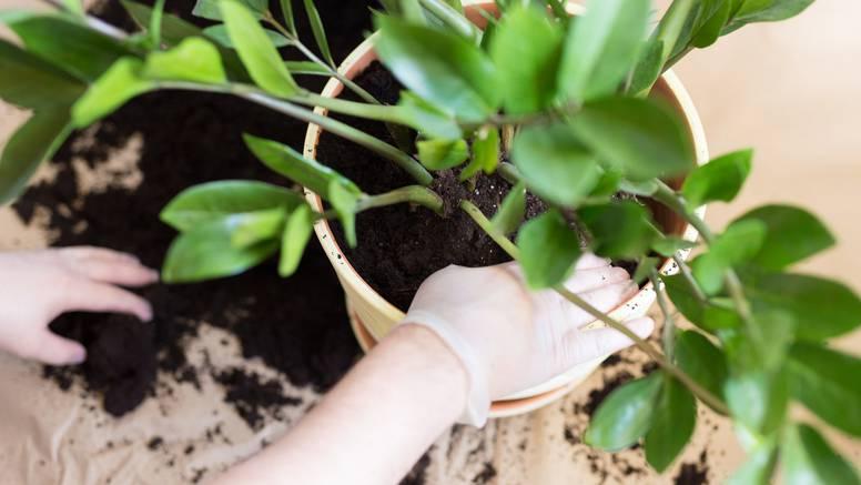 Kako pravilno presaditi sobnu biljku u samo nekoliko koraka?