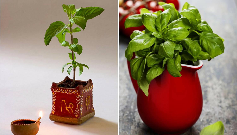 Tulsi je vrlo cijenjena biljka u Indiji, zovu je  svetim bosiljkom