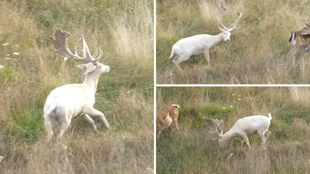 Neobičan prizor: 'Tata, tata, daj snimi ovog bijelog jelena!'