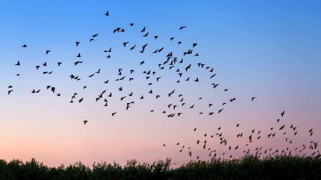 Znanstvenici otkrili kako ptice uspiju tako precizno navigirati