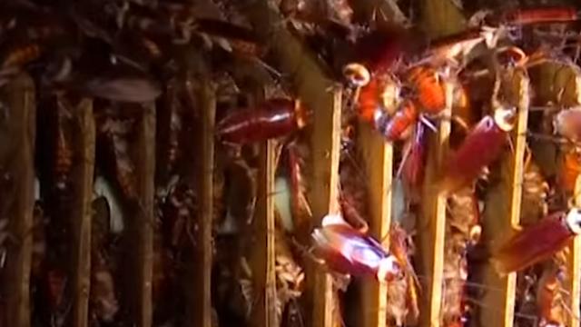 Preplavili su zemlju: Zašto se tu uzgaja na milijune žohara