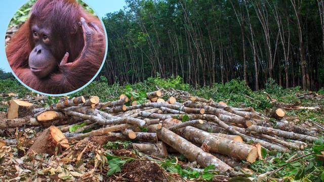 U 40 godina nestalo više od 50 posto populacije orangutana